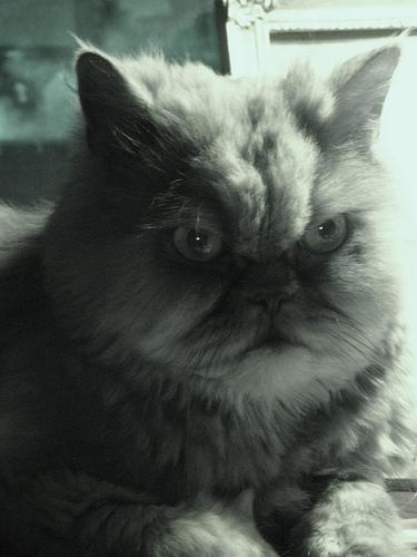 悪人顔,猫,画像,まとめ015