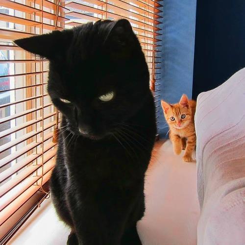 怖い,愛らしい,黒猫,画像,貼っていく014