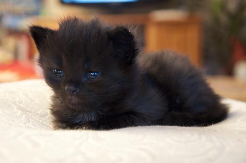 怖い,愛らしい,黒猫,画像,貼っていく024