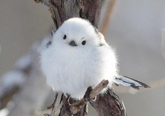 可愛すぎる,小鳥,シマエナガ,画像,まとめ001