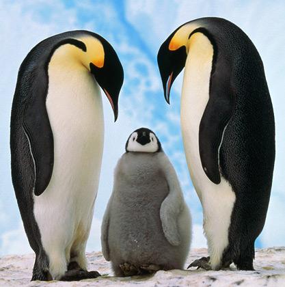 コウテイペンギン,赤ちゃん,画像,まとめ002