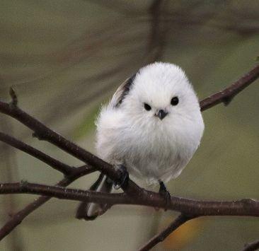 可愛すぎる,小鳥,シマエナガ,画像,まとめ002