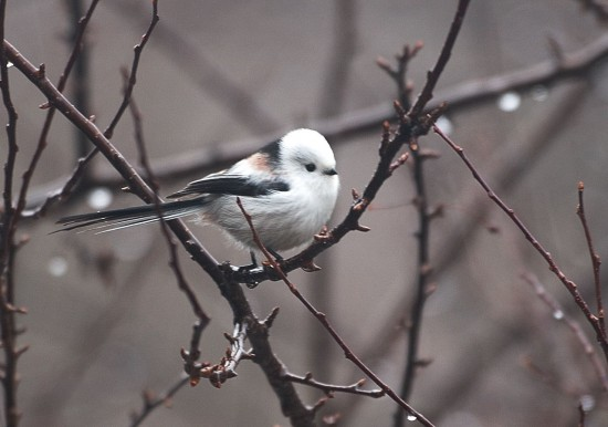 可愛すぎる,小鳥,シマエナガ,画像,まとめ003