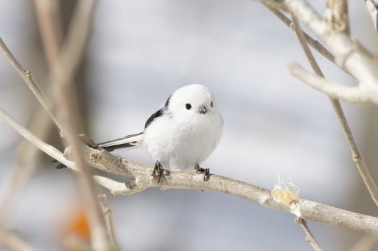 可愛すぎる,小鳥,シマエナガ,画像,まとめ005