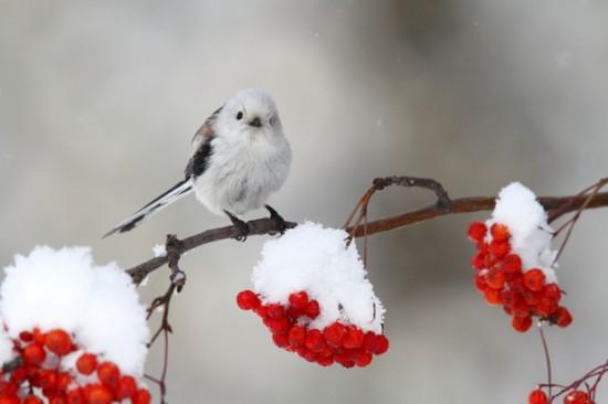 可愛すぎる,小鳥,シマエナガ,画像,まとめ006