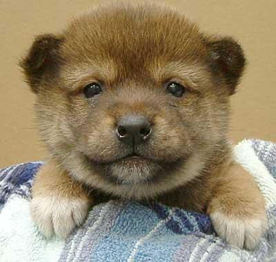 日本,柴犬,可愛い,画像,まとめ007