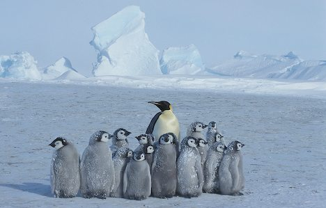 Adult emperor penguin minding a group of chicks