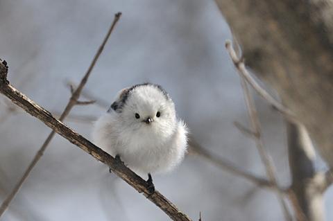 可愛すぎる,小鳥,シマエナガ,画像,まとめ008