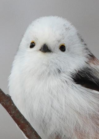 可愛すぎる,小鳥,シマエナガ,画像,まとめ009