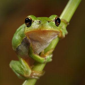 愛らしい,カエル,画像まとめ010