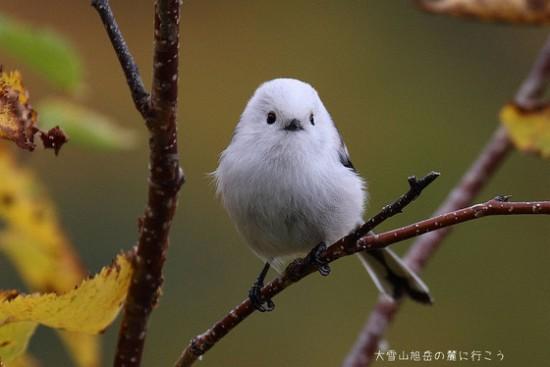 可愛すぎる,小鳥,シマエナガ,画像,まとめ010