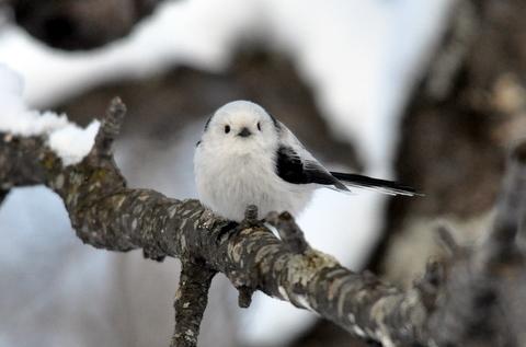 可愛すぎる,小鳥,シマエナガ,画像,まとめ011