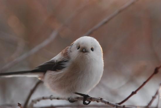 可愛すぎる,小鳥,シマエナガ,画像,まとめ012