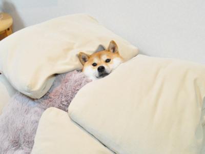 日本,柴犬,可愛い,画像,まとめ013