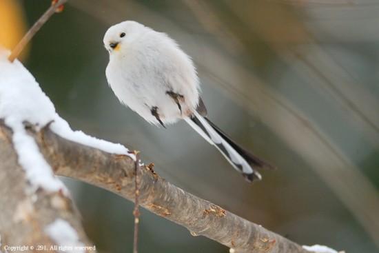 可愛すぎる,小鳥,シマエナガ,画像,まとめ013