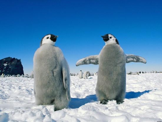 コウテイペンギン,赤ちゃん,画像,まとめ014