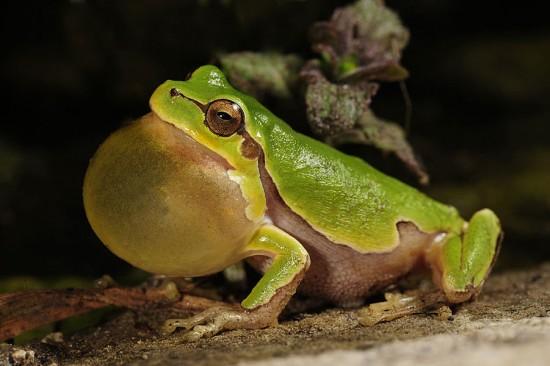 愛らしい,カエル,画像まとめ014