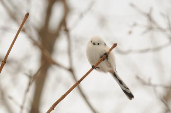可愛すぎる,小鳥,シマエナガ,画像,まとめ014