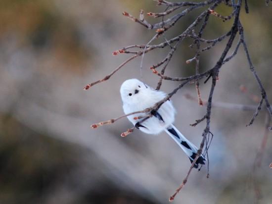 可愛すぎる,小鳥,シマエナガ,画像,まとめ015
