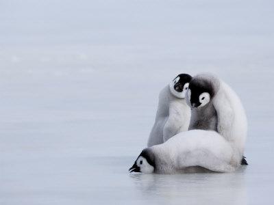 コウテイペンギン,赤ちゃん,画像,まとめ015