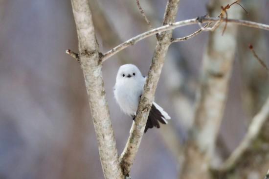 可愛すぎる,小鳥,シマエナガ,画像,まとめ016