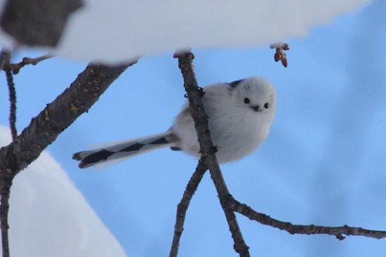 可愛すぎる,小鳥,シマエナガ,画像,まとめ017