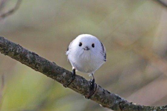 可愛すぎる,小鳥,シマエナガ,画像,まとめ018