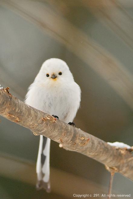 可愛すぎる,小鳥,シマエナガ,画像,まとめ019