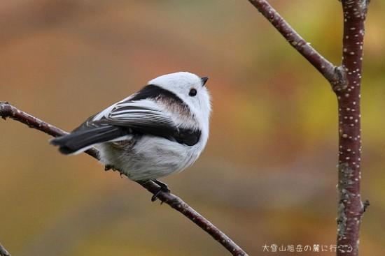 可愛すぎる,小鳥,シマエナガ,画像,まとめ020