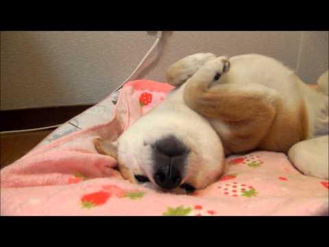 日本,柴犬,可愛い,画像,まとめ023