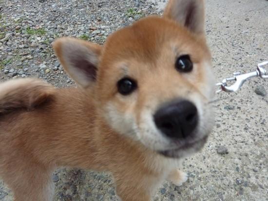 日本,柴犬,可愛い,画像,まとめ026