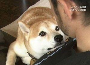 日本,柴犬,可愛い,画像,まとめ031