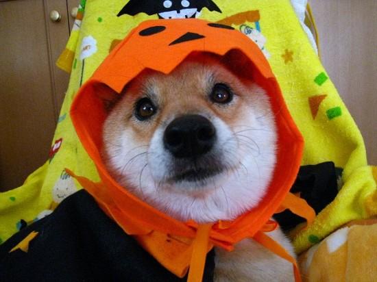 日本,柴犬,可愛い,画像,まとめ032