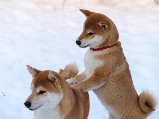 日本,柴犬,可愛い,画像,まとめ041