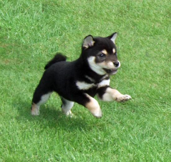 日本,柴犬,可愛い,画像,まとめ042