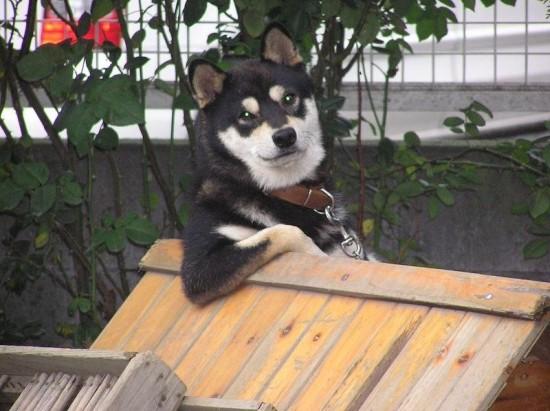 日本,柴犬,可愛い,画像,まとめ046
