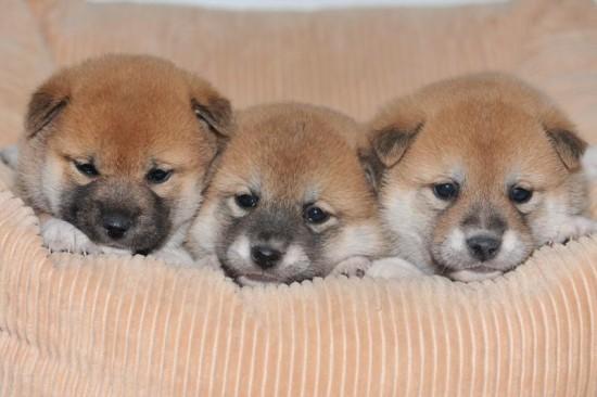 日本,柴犬,可愛い,画像,まとめ051