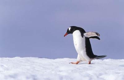 キュート,かわいい,ペンギン,画像,まとめ063
