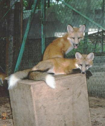 狐,キツネ,画像,まとめ003