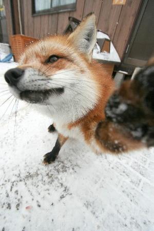 カメラに手を出すかわいいキツネ