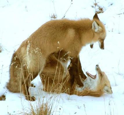 雪の上でじゃれ合うキツネがかわいすぎる