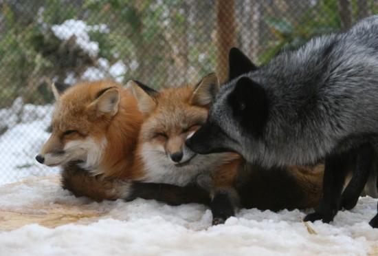 狐,キツネ,画像,まとめ011