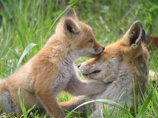 狐,キツネ,画像,まとめ012