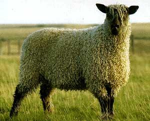 可愛い,世界,ヒツジ,羊,画像,まとめ012