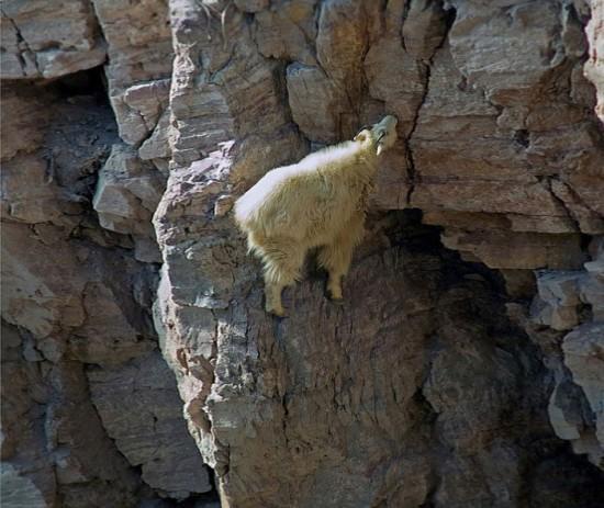 タマヒュン,絶壁,ヤギ,画像,まとめ013