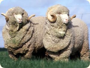 可愛い,世界,ヒツジ,羊,画像,まとめ015