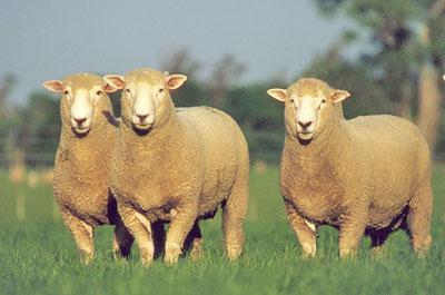 可愛い,世界,ヒツジ,羊,画像,まとめ016