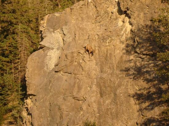 タマヒュン,絶壁,ヤギ,画像,まとめ017