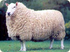 可愛い,世界,ヒツジ,羊,画像,まとめ018
