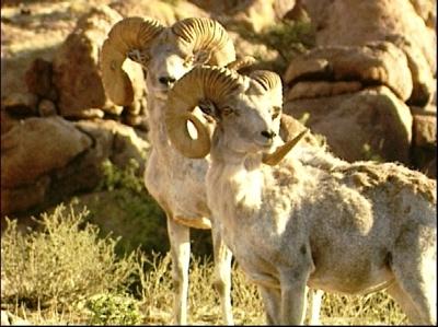 可愛い,世界,ヒツジ,羊,画像,まとめ019
